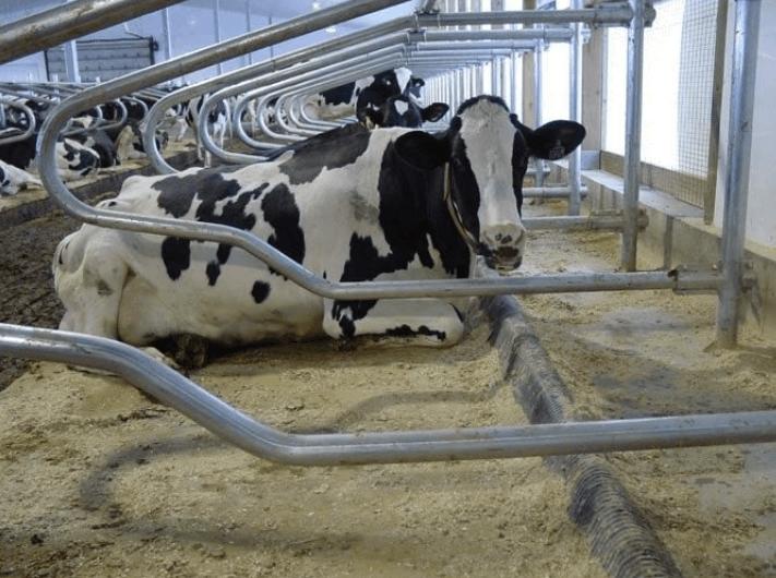 koematras met koe